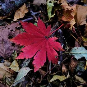 [X-Pro2] 단풍 낙엽